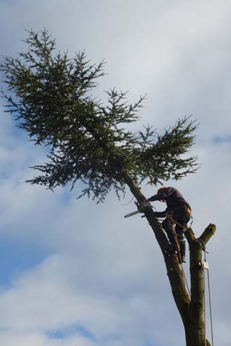 tree surgeon cutting the last branch