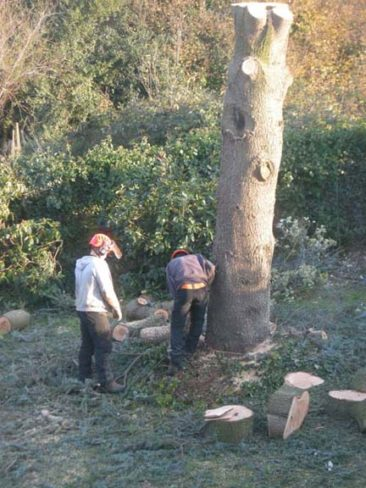 tree surgeons wedging the trunk