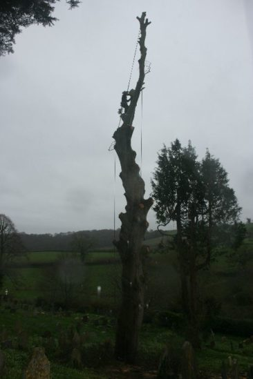 tree surgeons dismantling a diseased beech tree in newton abbot
