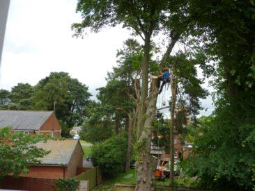 tree surgery - large tree dismantle
