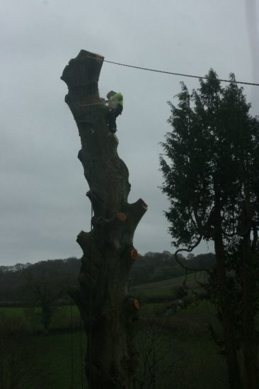 tree surgeons dismantling the lower sections