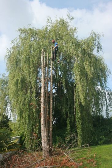 tree surgeons in exeter remove dead tree