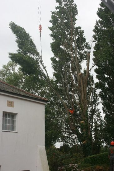 Large sections of the tree are removed by the crane