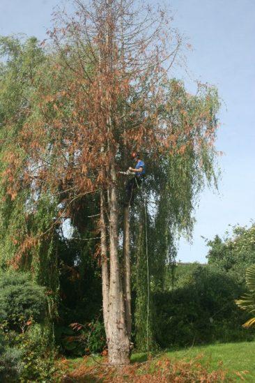 Tree Surgeon dismantling dead tree