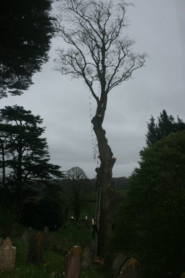 Tree Surgeon dismantling tree at newton abbot