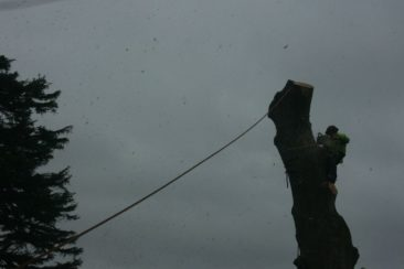 tree surgeon in wolborough dismantling the tree trunk