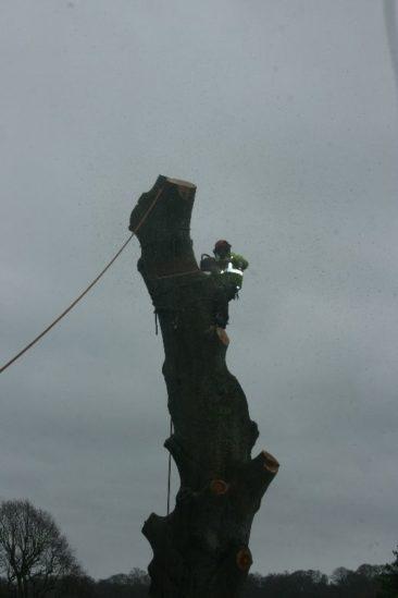 Tree surgeon dismantles trunk