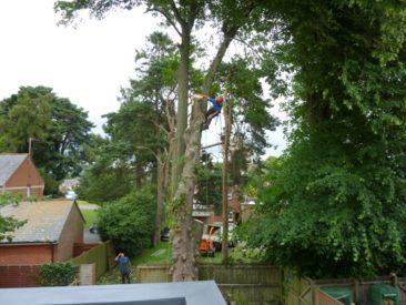 tree surgeon dismantling large tree