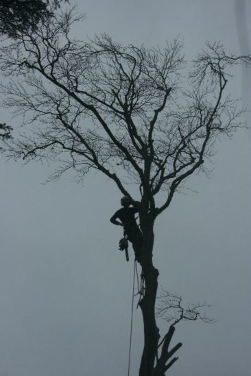 Tree surgeon dismantling tree