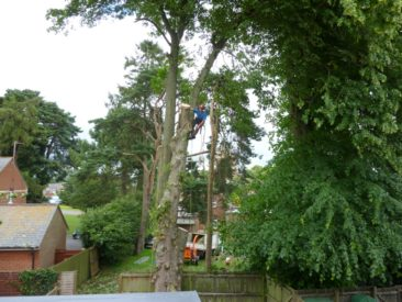 tree surgery - dismantling a large tree
