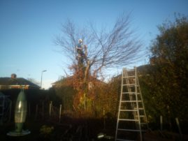 Dismantling tree in hedge line