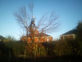 Tree surgeon dismantling tree in hedge line