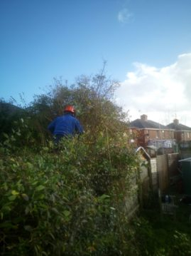 Tree surgeon reducing hedge